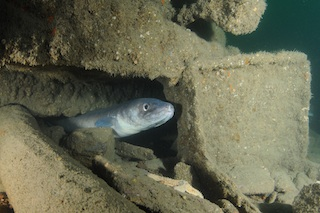 Conger eel on the Clifton south Cork