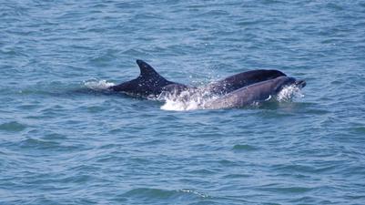 Dolphins Kinsale Harbour Co Cork