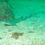 Dogfish/Catshark