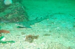 Dogfish Blackhead Kinsale