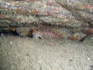 Portuguese Blenny or Red Blenny