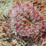 The Dahlia Anemone