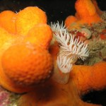 Anenome nestles in dead mans fingers