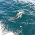 Common Dolphins near Kinsale