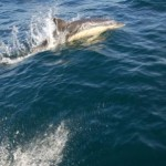 Dolphins ride Oisre's Bow Wave