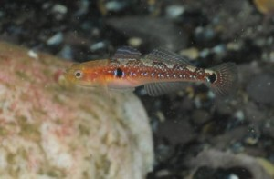 Goby in Oysterhaven