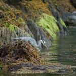 Grey Heron Oysterhaven South Cork