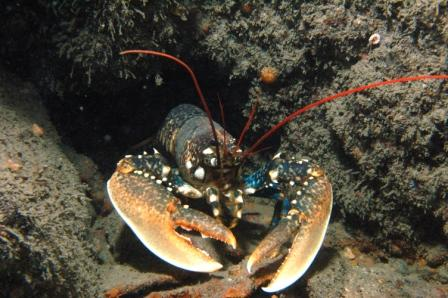 Lobster Daunt Rock Ireland