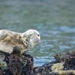 Seal, Newfoundland bay