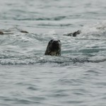 Seals near Kinsale Ireland