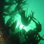 Sunlight through the Kelp Oysterhaven