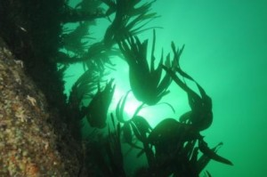 Sunlight through the Kelp Oysterhaven