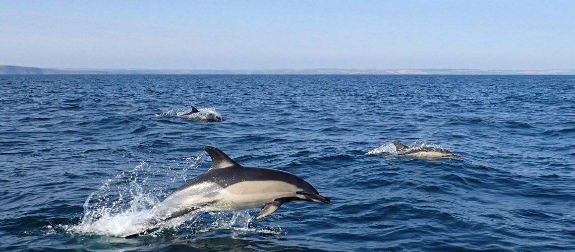 Dolphins at the Old Head